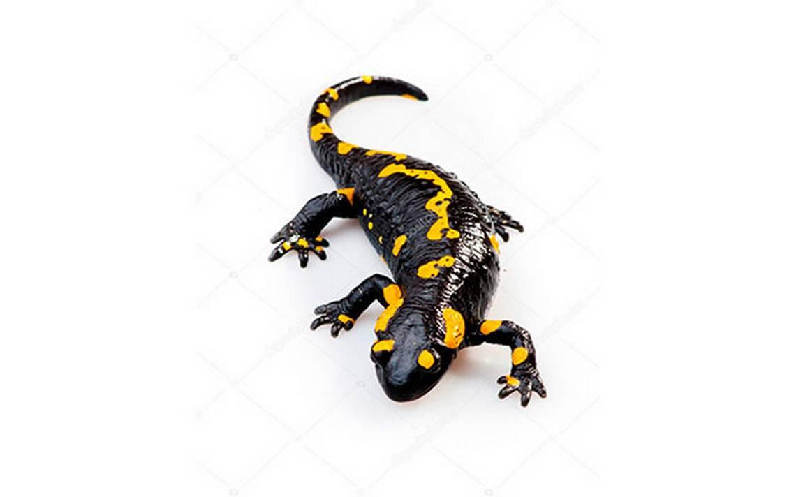 Ciencia y luz/ Salamandras: la comidilla del jardín - Diario de Xalapa