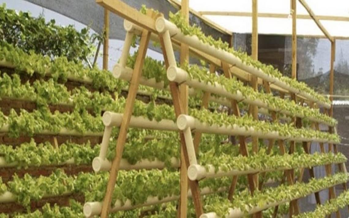 Cultivo Hidroponico Sustentable Diario De Xalapa - Cultivo-hidroponicos