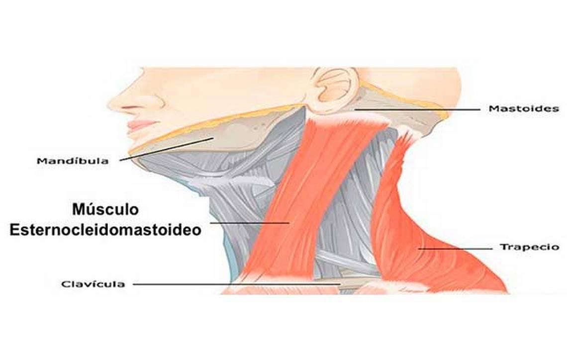 Lujo Anatomía Músculo Frontal Cresta - Anatomía de Las Imágenesdel ...