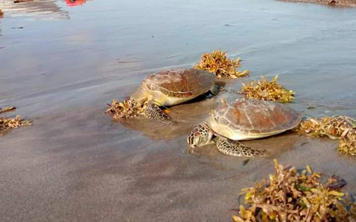 Resultado de imagen para tortugas muertas en mata de uva